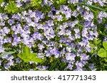 Garden Blue Phlox  Phlox...