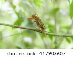 Small photo of Bird, Rufous-collared Kingfisher (Actenoides concretus)