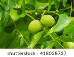 green walnut yaoung fruits... | Shutterstock . vector #418028737
