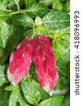 Small photo of Justicia brandegeana, Acanthaceae