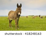 Drove Of Donkeys Restingin The...