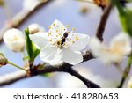 bee on a white flower of a... | Shutterstock . vector #418280653