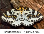 Small photo of The magpie moth (Abraxas grossulariata). British insect in the family Geometridae, the geometer moths