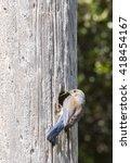female weatern bluebird getting ... | Shutterstock . vector #418454167