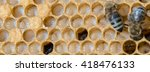 Not Capped Brood Cells Of The...
