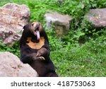 Malayan Sun Bear Or Honey Bear...