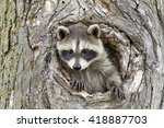 Baby Raccoon With Head And One...