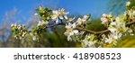Flowering Apple Tree. Flowers...