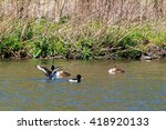 Two Tufted Ducks And Great...