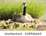 A Mother Canada Goose Is...