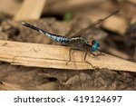 Small photo of Dragonfly (Acisoma inflatum)