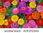 Flowers Zinnia  Elegans.  Colo...