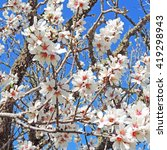 Small photo of Almond tree with white and pink blossoms