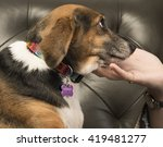 Small photo of Beagle wearing collar looks on adoringly as woman's hand cradles her chin with leather sofa in the background