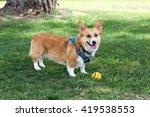 pembroke welsh corgi dog with... | Shutterstock . vector #419538553