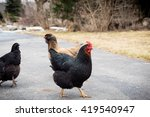 Laying Hens Crossing The Road.