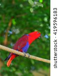 eclectus parrot female  red  ... | Shutterstock . vector #419596183