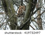 Small photo of Red-morph Eastern Screech Owl sleeping high up in a tangle of branches.