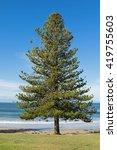 Norfolk Island Pine Tree...