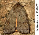 Small photo of Lesser yellow underwing moth (Noctua comes). British insect in the family Noctuidae, the largest British family moths in the order Lepidoptera