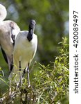 Small photo of Threskiornis aethiopicus, African sacred ibis