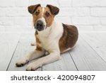 Fox Terrier Posing In Studio I...