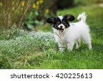 Stock photo puppy breeds papillon on the green grass puppy chewing on branches 420225613