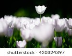 Flower. Amazing White Tulip...