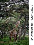 giraffe in the forest | Shutterstock . vector #420423673
