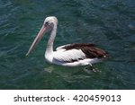 White Pelican Floating In The...