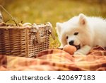 Samoyed Puppy Eating Peach On...