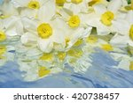 Narcissus  Plant   Flowers Wit...