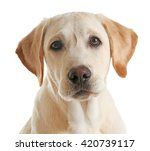 Cute Labrador Dog Isolated On...