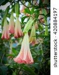 Orange Datura Flowers Or Angel...