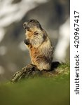 Small photo of Marmot mountain, Alpine Alpine is a species of rodent found in the mountainous areas of Central and southern Europe.