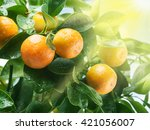 Ripe Tangerine Fruits On The...