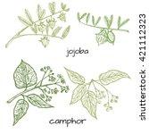 vector hand drawn herbs.camphor ... | Shutterstock .eps vector #421112323