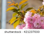 Small photo of Pink abloom japanese cherry (sakura) blossom