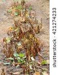 walnut leaves damaged my... | Shutterstock . vector #421274233
