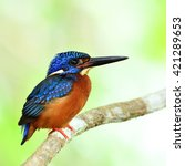 Small photo of Beautiful bird, male Blue-eared Kingfisher perched on branch.(Alcedo meninting)
