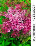 Small photo of Pink flowers of Spiraea Japonica (meadowsweet )