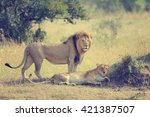 Close Up Lion In National Park...