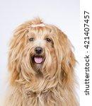 Havanese Puppy Dog Portrait....