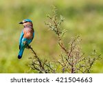 the indian roller   is a member ... | Shutterstock . vector #421504663