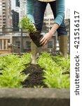 friendly woman harvesting fresh ... | Shutterstock . vector #421516117