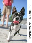 A Cute Boston Terrier Pulling...