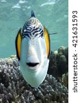 Small photo of Sohal surgeonfish (Acanthurus sohal) with coral reef