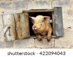 Pig Looks Out From Window Of...