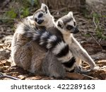 portrait of lemur with backlit... | Shutterstock . vector #422289163