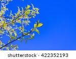 unblown flowers of bird cherry... | Shutterstock . vector #422352193